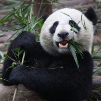 Panda espirrando, viral no Youtube, esconde história dramática que vai fazer você chorar!