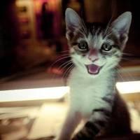 Gatos sorrindo, triste ou bravos? Veja os 25 felinos mais expressivos do mundo!