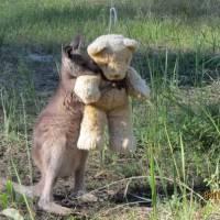 Canguru abraçado com urso de pelúcia viraliza na internet! Confira esse e mais 10 bichinhos fofos