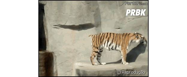 Tigre toma um baita susto com pássaro!