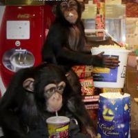 """Chimpanzés vão ao cinema assistir """"Planeta dos Macacos: O Confronto"""""""