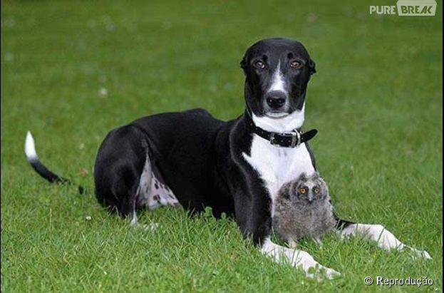 Uma coruja descansando entre as patas do seu amigo cão