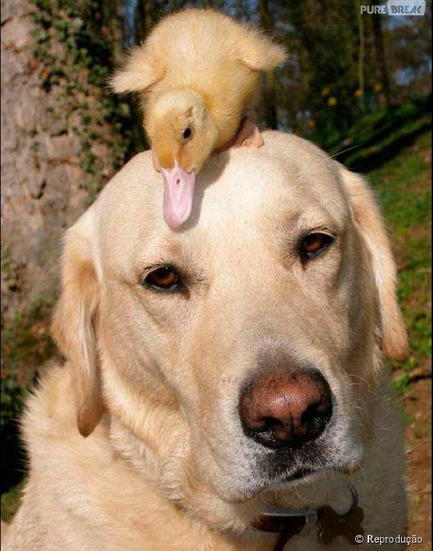 Cachorros também gostam de patos!