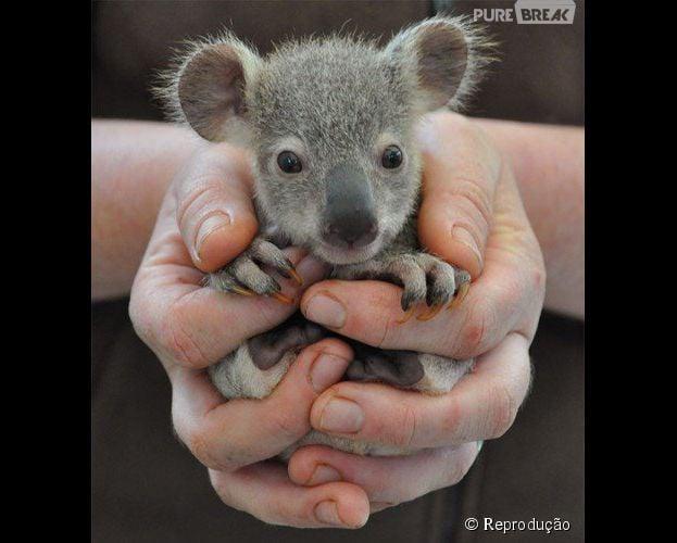 A carinha desse filhote de coala não é linda?