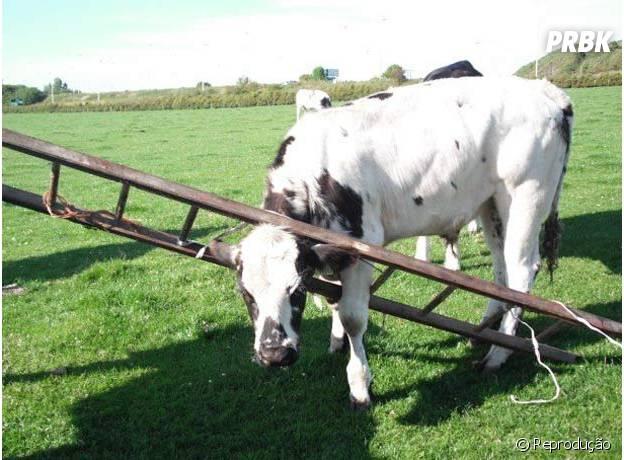 Vacas e escadas não combinam!