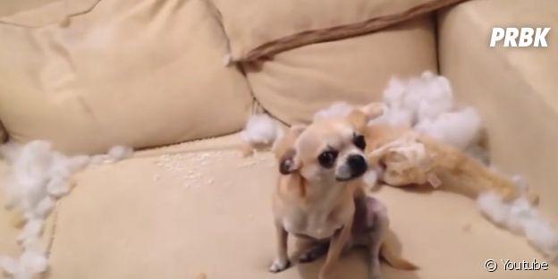 Cachorro que destruiu um brinquedo
