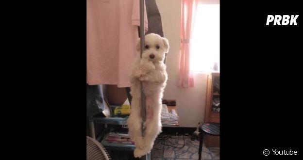 Cachorro que se pendurou dentro de casa