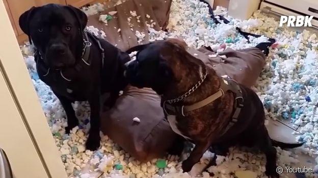 Cachorros que destruíram tudo