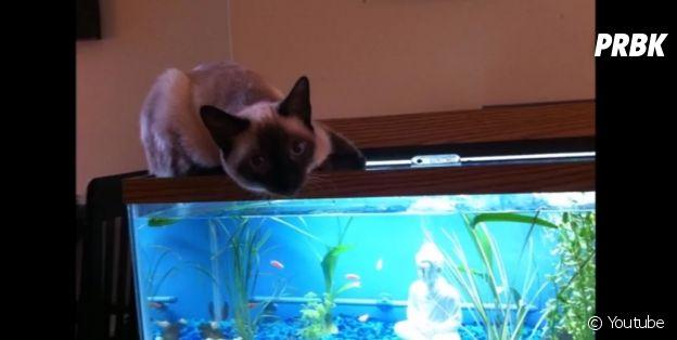 Gato que está xeretando o aquário
