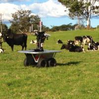 Menos estressadas: vacas preferem robô-pastor do que humanos e cães