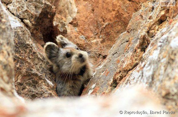 """O sumido Ili Pika ou """"coelho mágico"""" é um dos animais mais fofos do mundo!"""