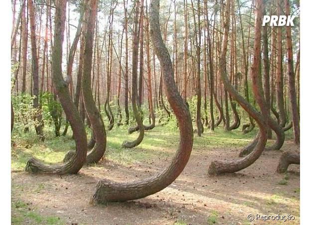 Árvores tortas na Polônia