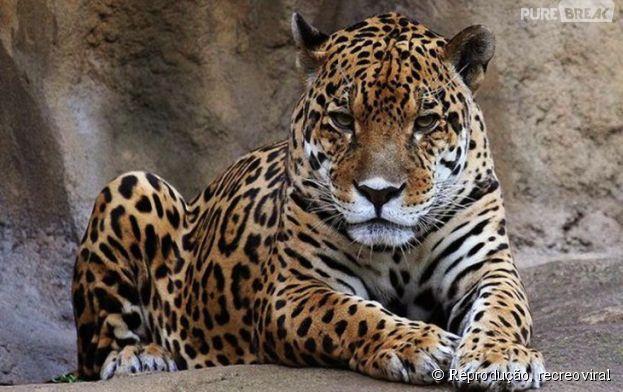Não há dados oficiais, mas ano passado, na Índia e na África foram 15 pessoas mortas por leopardos