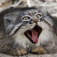 Gato-de-pallas: 20 fotos do felino que tem as melhores expressões do mundo!