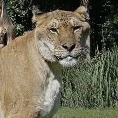 Tigre com leão, zebra com cavalo e os 13 cruzamentos de animais mais estranhos que existem!