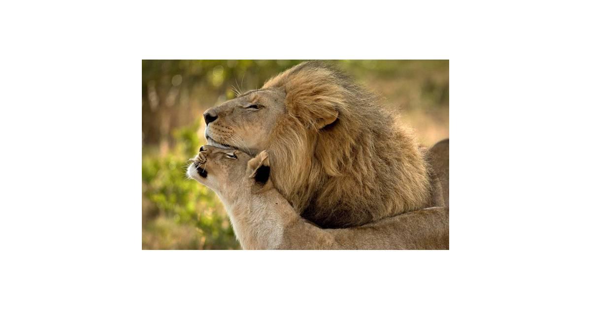 Foto de um momento de carinho entre o casal de leões - Purebreak