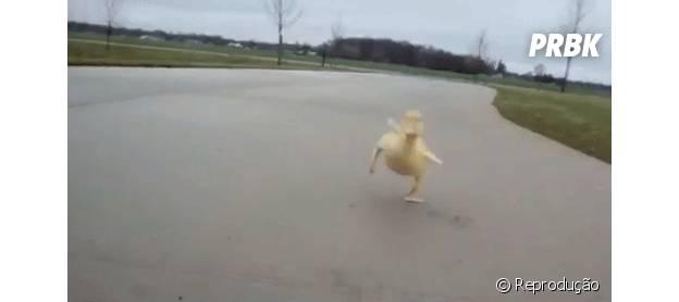 Pato correndo de forma engraçada