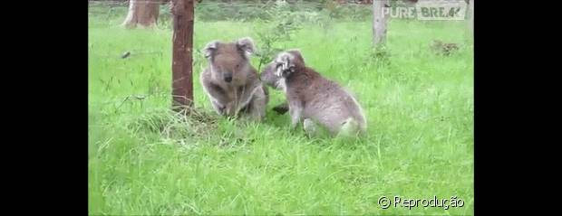 Tópico de combates do Reino Animal 43401-nao-queira-ver-um-coala-irritado-620x0-1