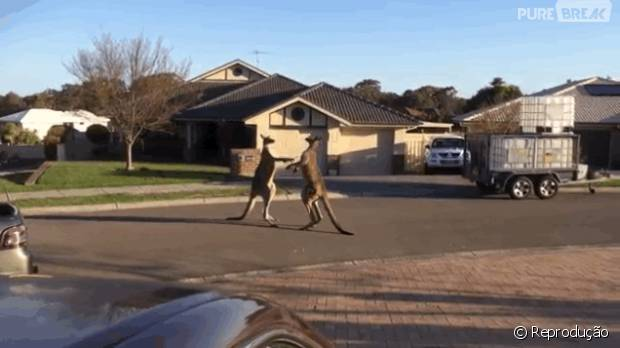 Tópico de combates do Reino Animal 43402-cangurus-brigando-no-meio-da-rua-na-620x0-1