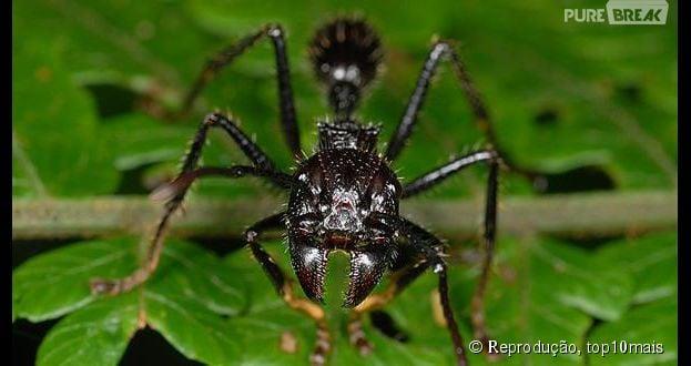 A picada da formiga-cabo-verde tem a mesma dor de uma bala perdida. Tenso!